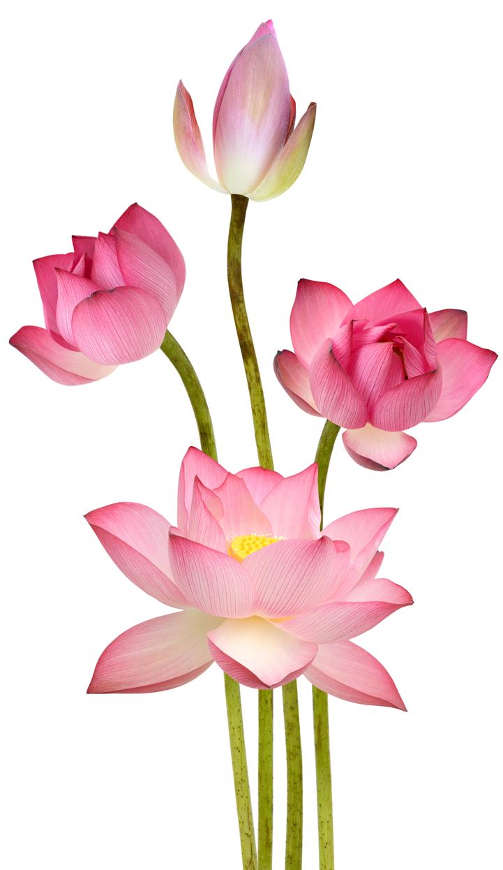 lotuspage-lotus.png
